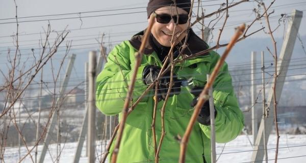 Zimowe cięcie, białe klasyki i ABC produkcji wina